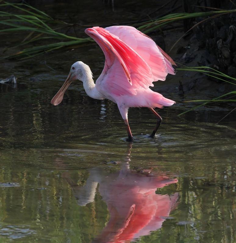 Spoonbill in the Salt Marsh