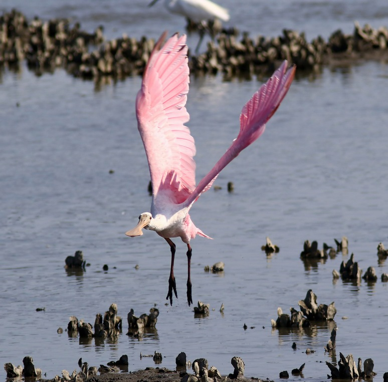 Spoonbill in the Salt Marsh