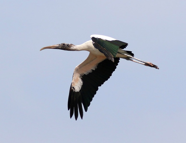 Wood Stork Arriving
