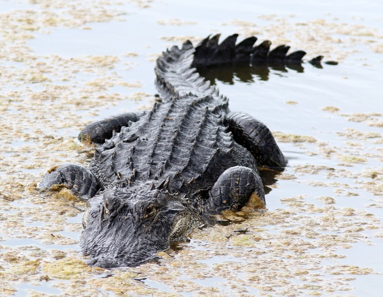 Alligator Crunching Crab