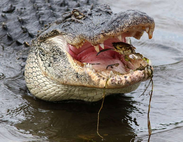 Alligator Crunching Crab