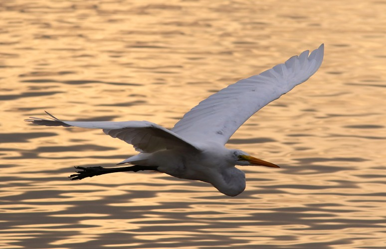 Egret Evening Flight