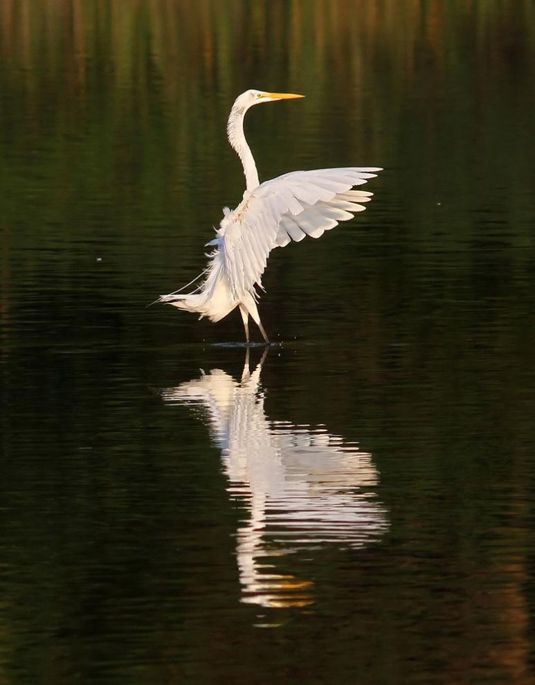 Egret Stops In