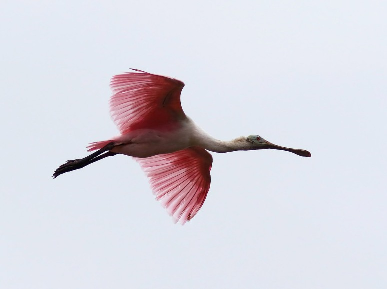 Fun With Spoonbills