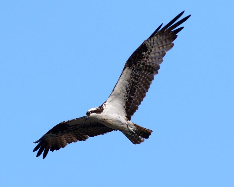 Osprey Looking Around