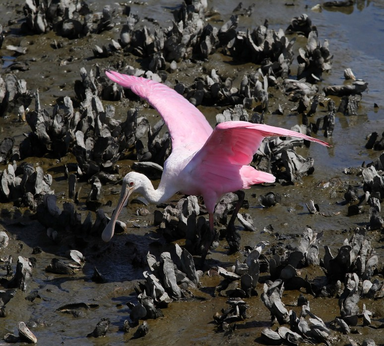 Spoonbill Dancing in the Oyster Beds