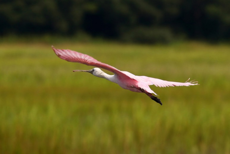 Spoonbills and Wood Storks