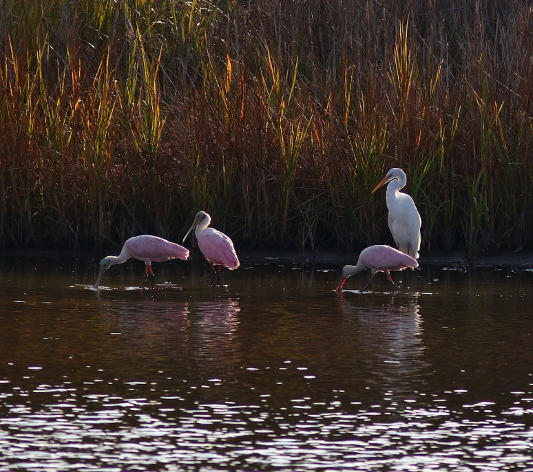 Spoonbills Arrive in the Marsh