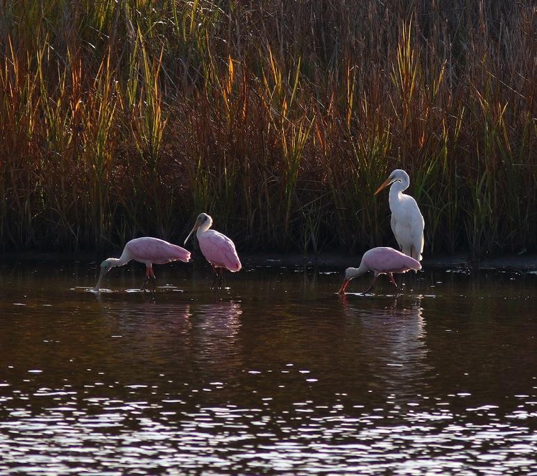 Spoonbills Arrive in the Marsh