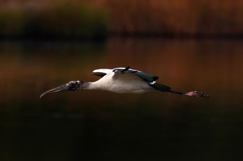 Wood Stork Action