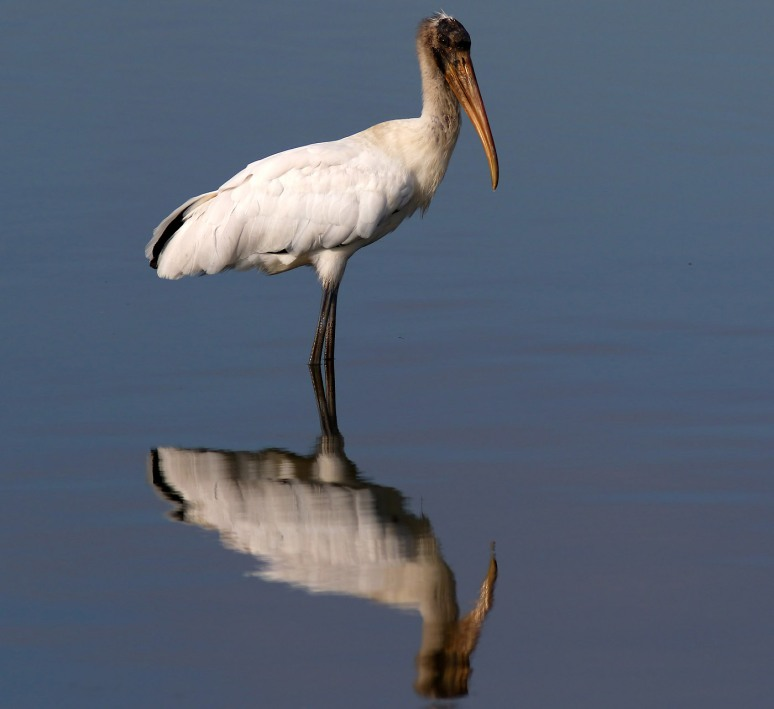 Wood Stork Action