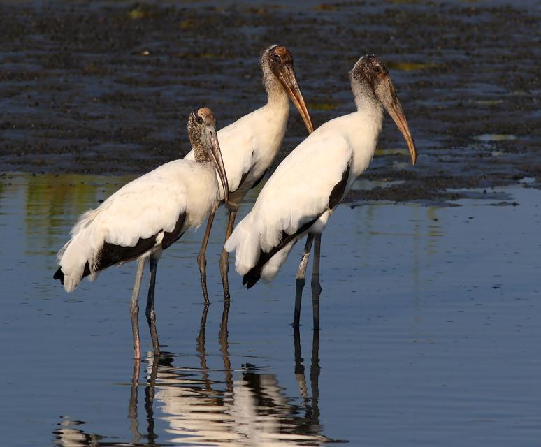 Wood Stork Drops In On Friends