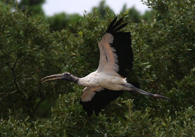 Wood Stork Leaving the Salt Marsh