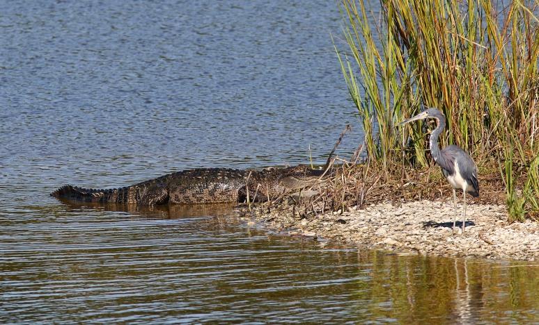 Alligator and Tricolor