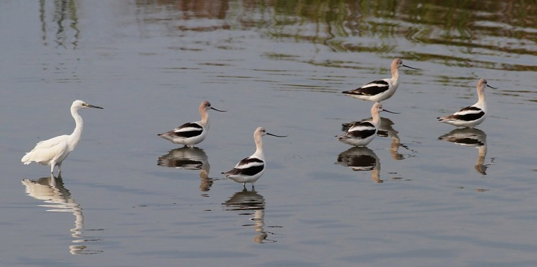 Avocets and Snowy