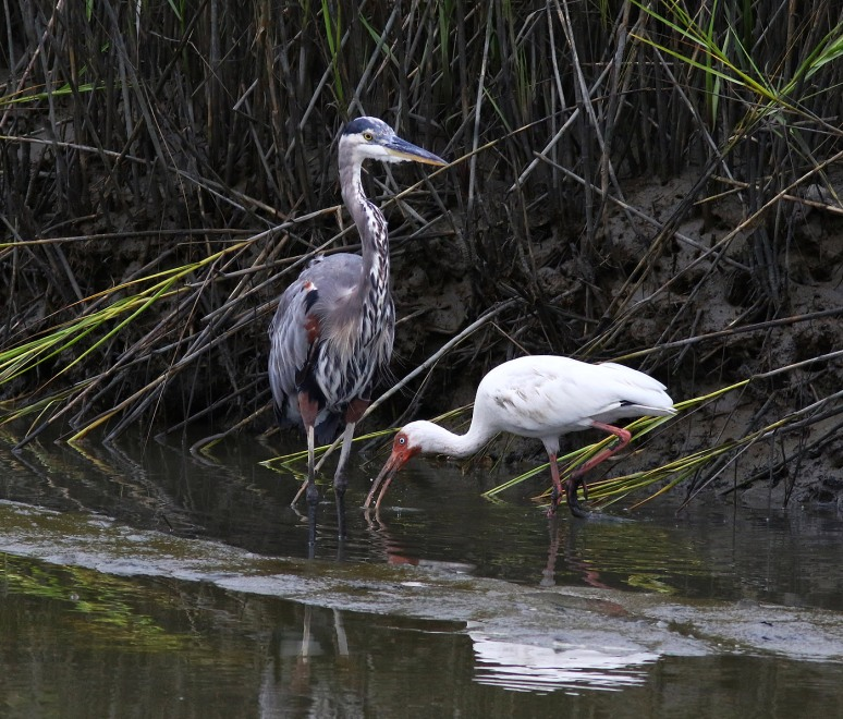 GBH and Ibis