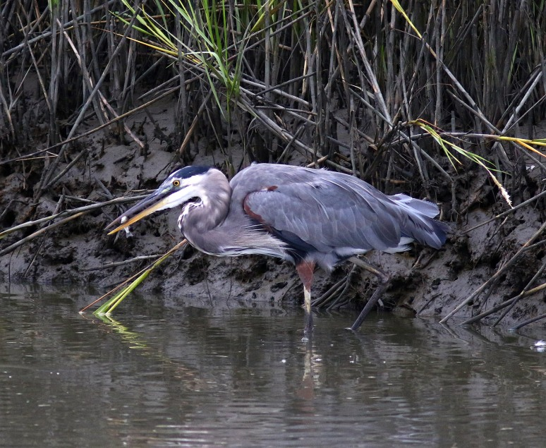 GBH Fishing With Wood Storks