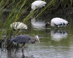 GBH Fishing With WoodStorks