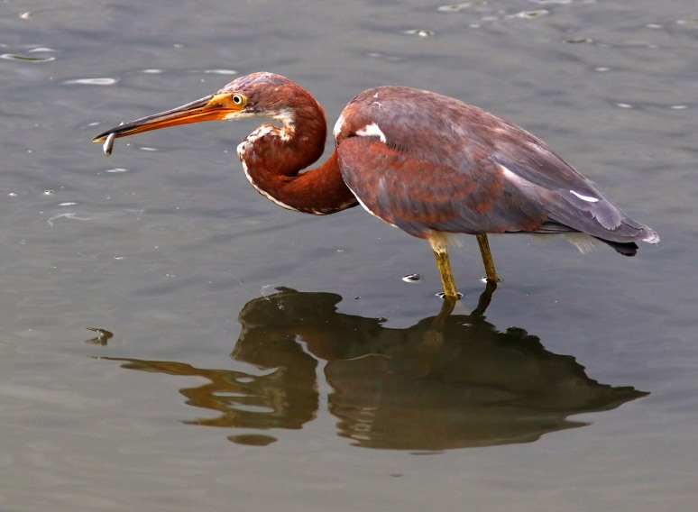 Juvenile Tricolored Heron Fishing