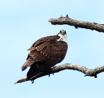 Osprey In DeadTree