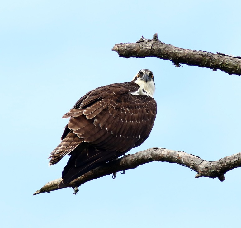 Osprey In Dead Tree
