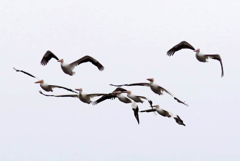 White Pelicans Arrive and Arrive