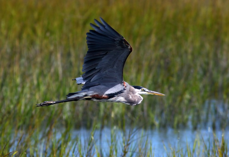 Blue Heron Flies Across the Salt Marsh