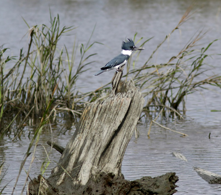 Kingfisher in the Salt Marsh
