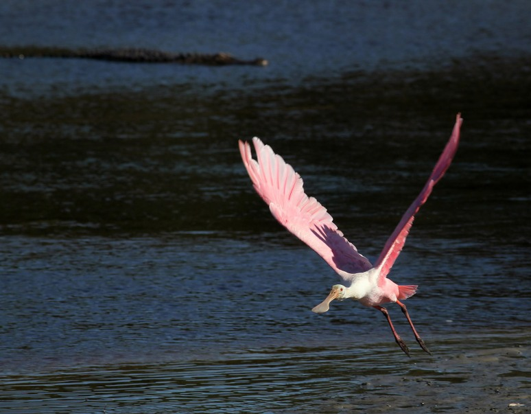 More Spoonbill Fun