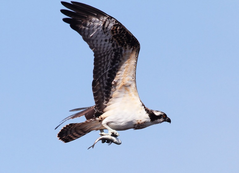 Osprey Flying with Fish From the Salt Marsh