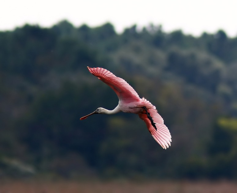 Spoonbill Finally Shows Up
