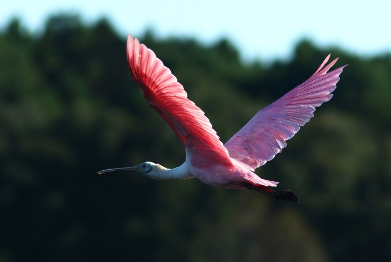 Spoonbills Leaving