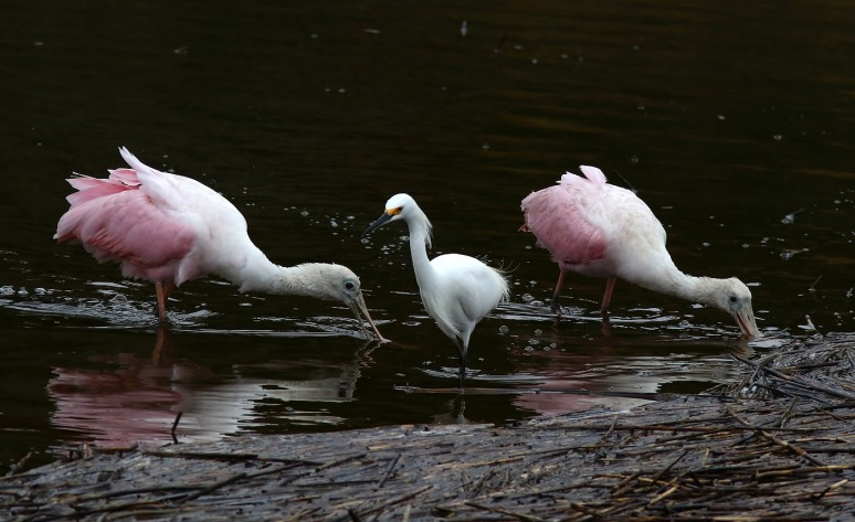 Spoonbills Still At It
