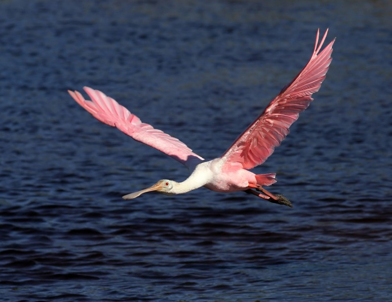 Surprise Spoonbills