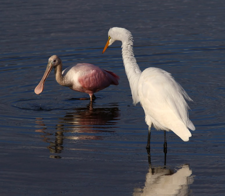 Spoonbill and Egret Feeding in the Marsh