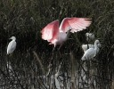 Spoonbill Leaves His Snowy Friends