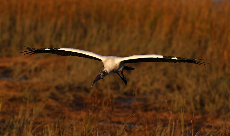 Wood Stork Salt Marsh Sunset Flight