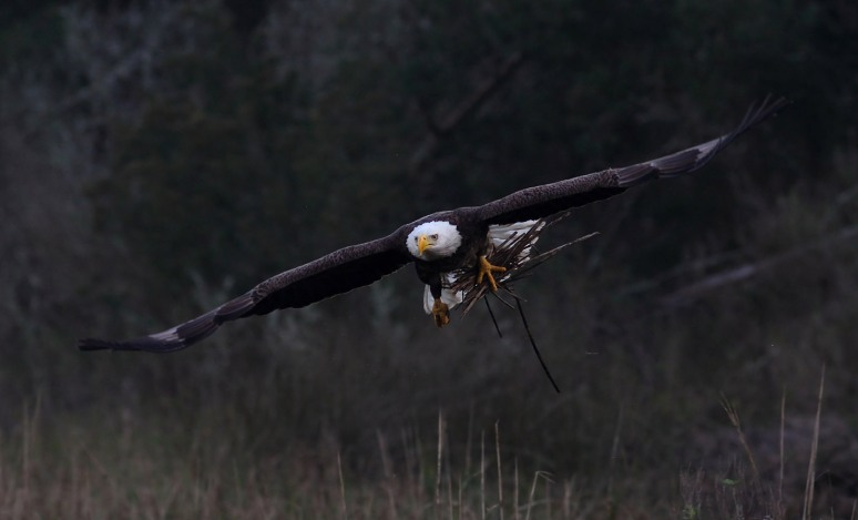 Bald Eagle Fishing and Nest Building