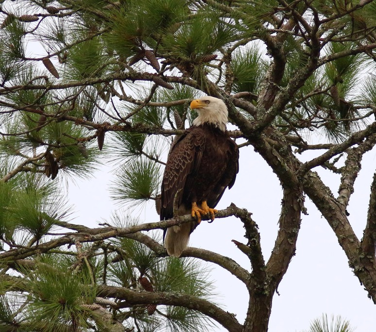 Bald Eagle Visits the Salt Marsh