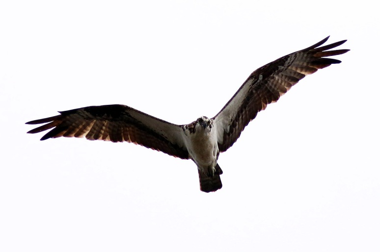Grey Day For An Osprey