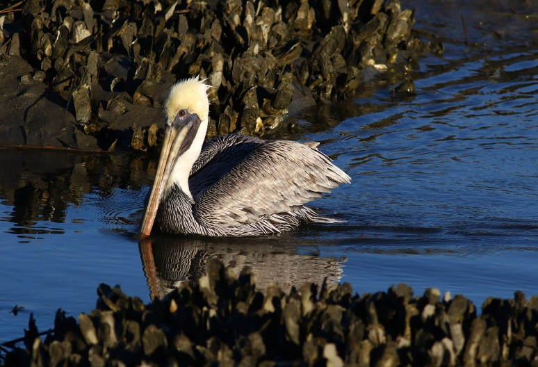 Pelican Cruising The Salt Marsh