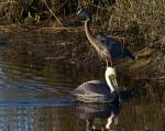 Pelican Cruising The SaltMarsh