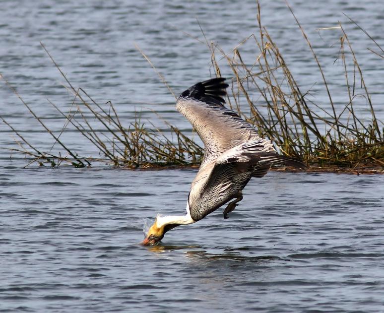 Brown Pelicans Invade The Salt Marsh