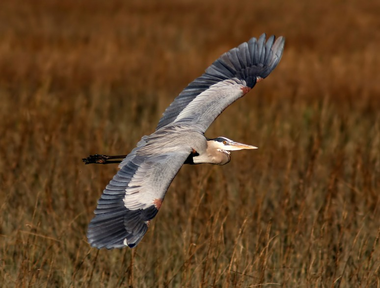 GBH Late Afternoon Flight Across The Salt Marsh
