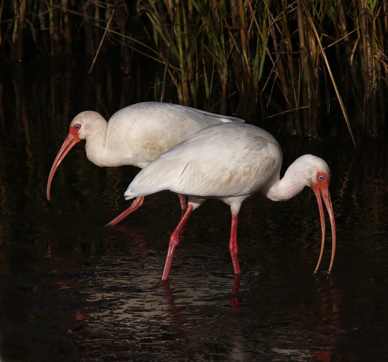 Ibis Feeding In The Marsh Pond