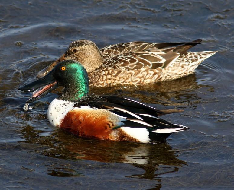 Northern Shovelers Feeding in the Marsh Pond