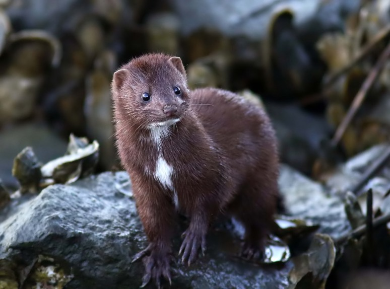 Surprise Late Day Mink
