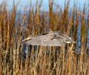 Tricolored Heron Drops Into The Salt Marsh