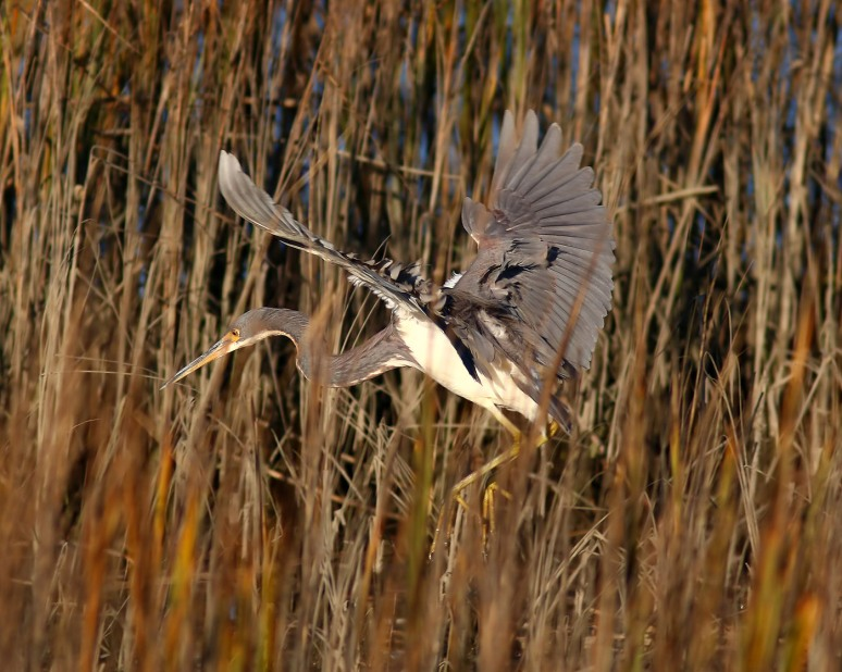 Tricolored Heron Drops Into The Salt Marsh