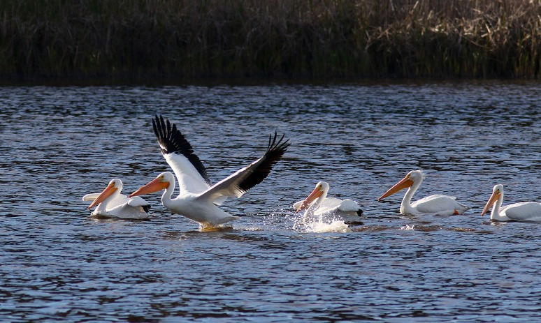 White Pelican Group Leaves The Pond